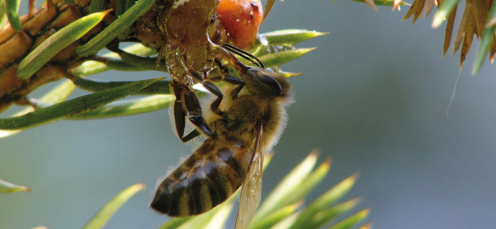 Honigtau
