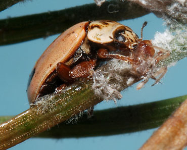Aphidecta_obliterata_eating_Cinara_pruinosa_on_Picea_abies