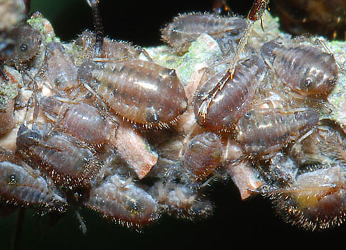 Cinara_pruinosa_nymphs_on_branch_of_Picea_sitchensis