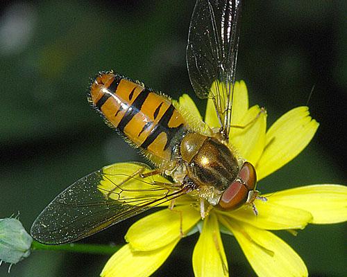 Episyrphus_balteatus_c2011-07-09_12-09-00ew