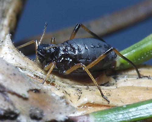 Cinara_piceae_aptera_feeding_on_Picea_abies_at_Selwyn_Wood