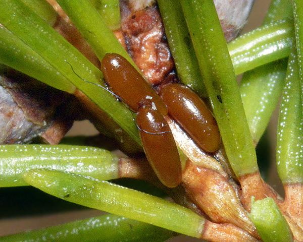 Cinara_piceae_eggs_c2014-10-14_12-07-57ew