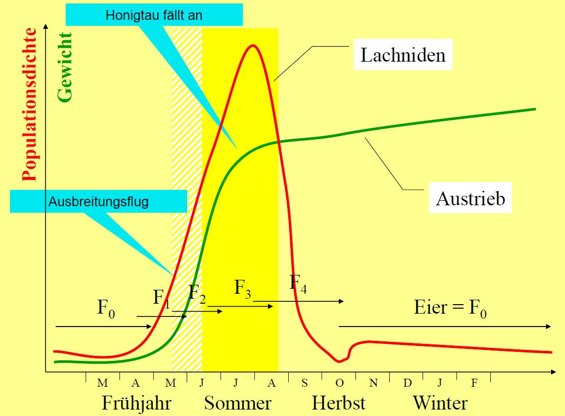 populationsdynamik_lachniden